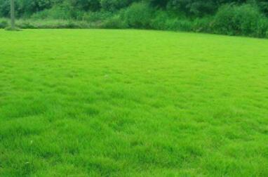 茂沁台湾草