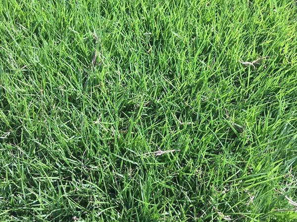 台湾草坪发芽图片