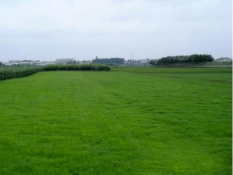 惠州茂沁绿化草业公司是一家专业种植绿化草坪直销厂家,提供台湾草草坪,兰引三号草坪,马尼拉草坪,大叶油草坪,草皮草坪的生产批发与供应,同时提供绿化养护工程,园林绿化工程,园林绿化设计等综合的园林绿化服务!