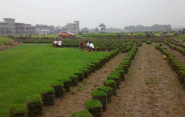 马尼拉草坪寿命为多久?马尼拉草坪能活几年?