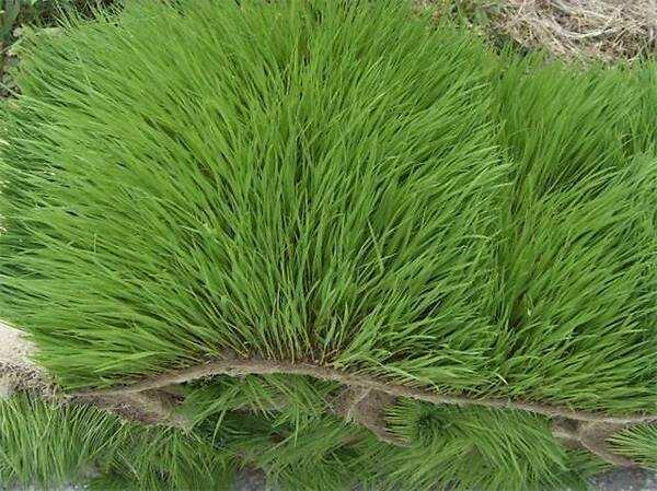 马尼拉草怎样种?马尼拉草皮播种技能
