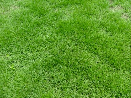 细叶结缕草厂家直销,常用草坪植物有什么?
