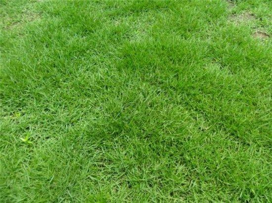 [细叶结缕草]常用的几种草坪植物各有什么特性