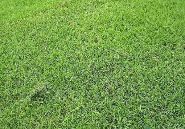 细叶结缕草怎样种?细叶结缕草籽植办法