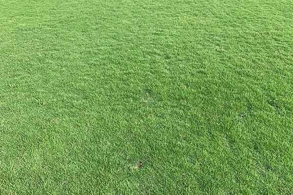中山夏威夷草坪多少钱一斤