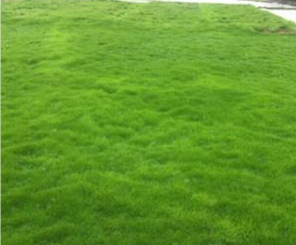 中山三角马尼拉草坪多少钱一平方
