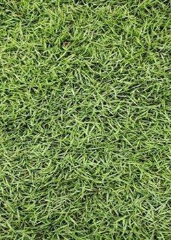 耐践踏的台湾草