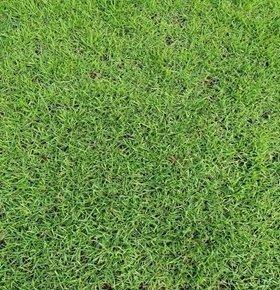大叶油草坪价格