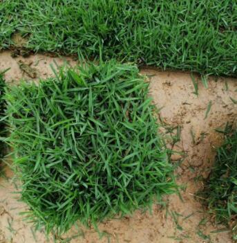 大叶油草坪