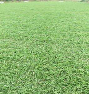 莞城大叶油草坪