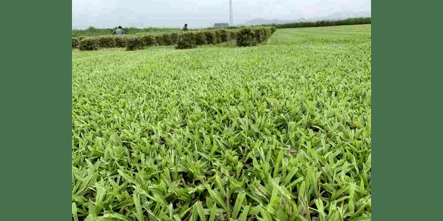兰引三号草坪