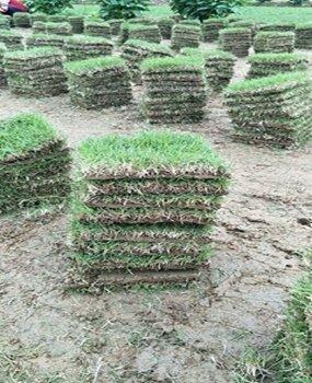 造型精美的大叶油草坪
