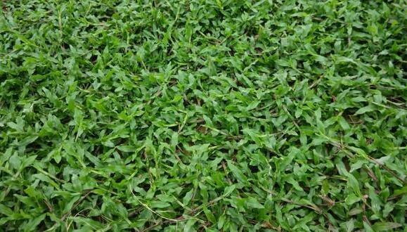 大叶油草多少钱