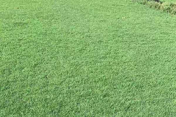 茂沁大叶油草坪批发