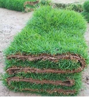 大叶油草坪基地