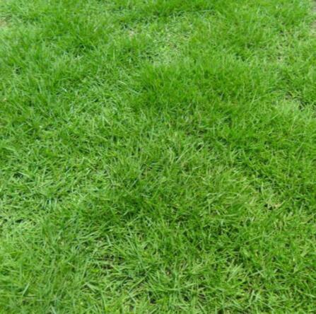 绿化草坪种植基地