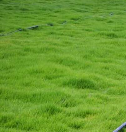 台湾草的特征
