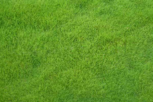 马尼拉草场