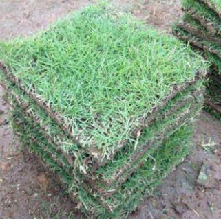 百慕大,马尼拉,台湾青三种草的区别