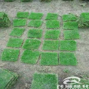 台湾草草坪