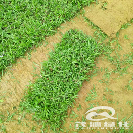 大叶油草卷