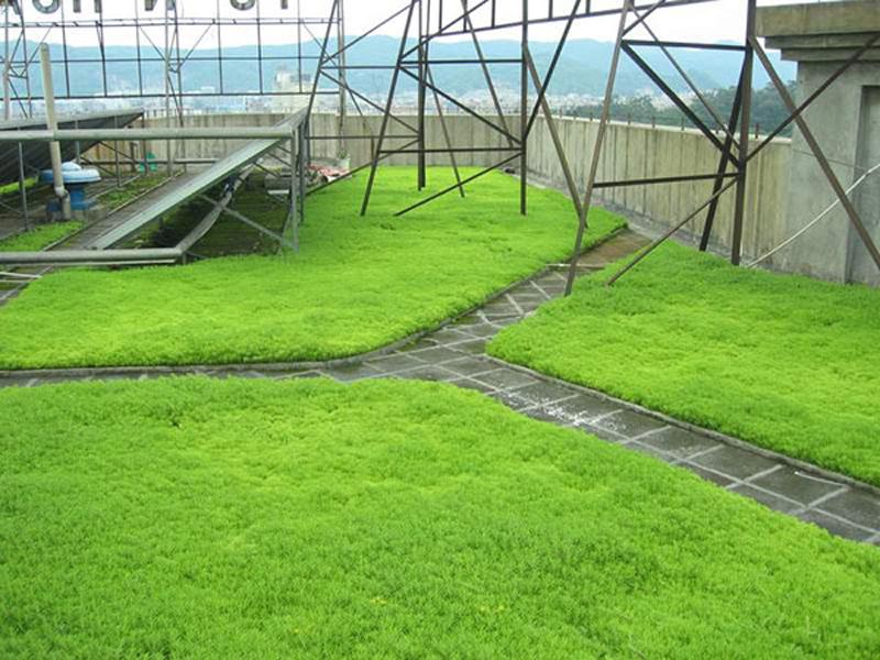 佛甲草草皮