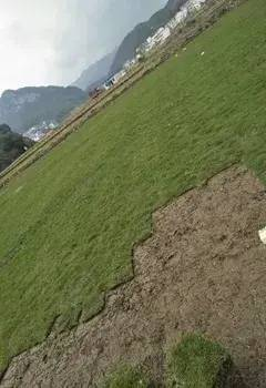 惠州马尼拉草基地